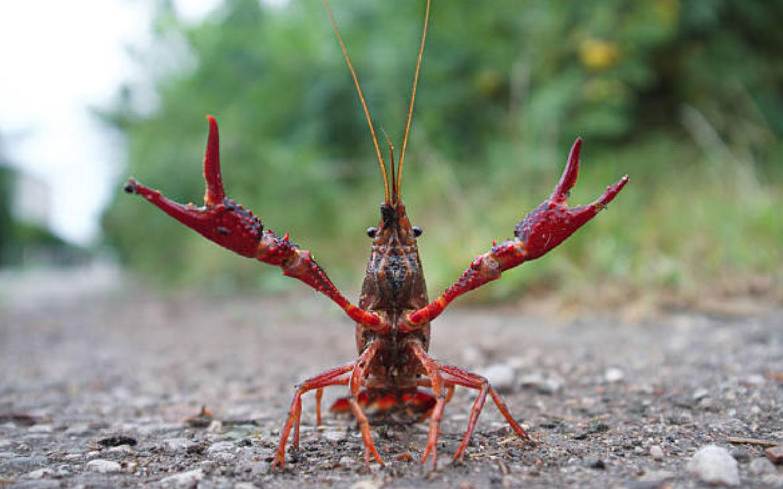Crayfish displays dominant behavior